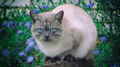Cat with blue eyes (Krepatura) Tags: cat pet animal outdoor siamese flower grass wall bricks catmoments