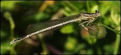 Female White-Legged Damselfly (glostopcat) Tags: whiteleggeddamselfly damselfly ordonata insect inverterbrate summer glos riversevern tewkesbury
