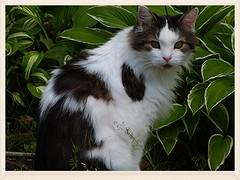 Tiramisu  la campagne ... (Trebor M.) Tags: chats cats gatto fabuleuse