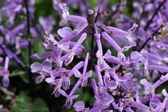 La Dolce Vita (Gillian Everett) Tags: lavender mona 7daysofshooting week15 ladolcevita focusfriday
