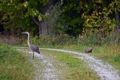Odd Couple Dos (Digital Aviary) Tags: greatblueheron woodchuck ottawanationalwildliferefuge birding
