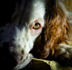 Bed time ! (TrevKerr) Tags: nikon d7000 dog puppy springerspaniel nikon85mmf18 portrait
