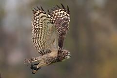 The Wood King (carlo612001) Tags: preadator predators rapaci raptors eagle owl bird prey wings predatoridelcielo