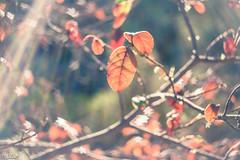 Enchantement (Lilas M *LworldPhotography* https://www.facebook.c) Tags: magie nature étoile lumière féérie automne feuillage extérieur forêt bois enchantement