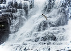 Dive bombing the falls (fool's itch) Tags: hdr water bird light white seabird waterfalls ithaca ny landscape nature outdoor snow