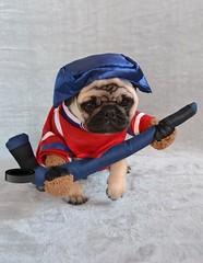 Boo The Hockey Player Pug (DaPuglet) Tags: pug pugs dog dogs puppy puppies animal animals montreal canadiens montrealcanadiens habs hockey jersey costume halloween ice stick fan team sports pet pets