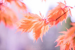 Autumn Lace (jeanmarie (been working lots of overtime)) Tags: jeanmarieshelton jeanmarie jeanmariesphotography autumn flora fall macro bokeh closeup colors upclose nikon nature nikond810 leaves maple pink