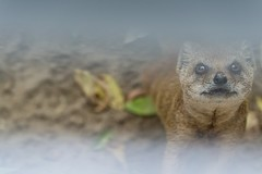 manguste (Maskenfrei Fotografie) Tags: eisenberg tiere manguste zoo mongoose cute animal niedlich
