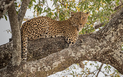 Leopard in the afternoon sunshine (tickspics ) Tags: africa africanleopard pantherapardus southluangwa zambia luangwavalley