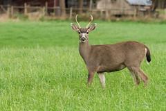 YOUNG BUCK (Sandy Stewart) Tags: bucks blacktailbuck deer nature wildlife sandystewartphotography deerofnorthamerica vancouverisland bc canadian