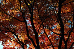 maple (Erik's pictures) Tags: maple tree leaves autumn fall