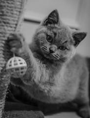 Gato Pekeo (pelpis) Tags: cat cats portrait animalportrait blackandwhite bw scene animalscene pet littlecat puppy light animalphoto photo photoanimal flickr flickranimal