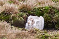 Mountain Hare (daveh_72) Tags: mountainhare lepustimidus hares mammals wildlife nature peakdistrict panasonic lumix gx80 gx85 canon 400mmf56l legacy manualfocus