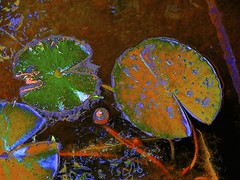 Lily Pad Abstract! (maginoz1) Tags: flower flora abstract art manipulate curves waterlilypad bulla melbourne victoria australia spring november 2017 canon g16