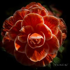 Begonia in the shadows (idunbarreid - on and off) Tags: begonia doublefantasy
