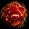Begonia in the shadows (idunbarreid) Tags: begonia doublefantasy
