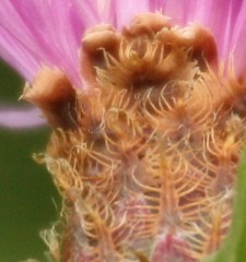 IMG_1575 (Sally Knox Sakshaug) Tags: nynov2016 fall autumn outside outdoors conesus area nature closeup close up perspective angle interesting different vary varied variety unique unusual line lines flower floral purple pink lavender white spindly center with petals daisylike weed field green base brown curls long wrapped intricate