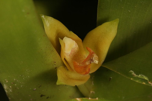 Maxillaria valenzuelana (syn Heterotaxis valenzuelana) 2016-07-09 01