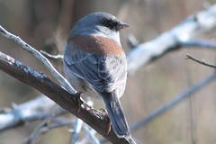 Dark-eyed Junco, Red-backed (hollykleindienst) Tags: darkeyedjunco redbacked