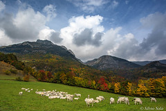Pasture in mountains in autumn - (Valley Stura of Demonte - Cuneo Piedmont Italy) (Silvio Sola) Tags: demonte stura silviosola autunno autumn pasture colori vallone cuneo piemonte italia montagne mucca cow