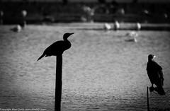 9Q6A8988 (2) (Alinbidford) Tags: alinbidford alancurtis brandonmarsh goldeneye cormorant greyheron heron shoveler greatcrestedgrebe kestrel shelduck wildfowl