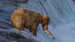 Smells Fishy (vishalsubramanyan) Tags: bear grizzly salmon alaska katmai wildlife nature