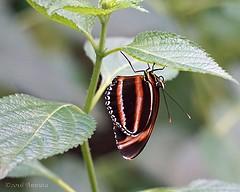 Upside down ( Annieta ) Tags: annieta november 2016 sony a6000 nederland netherlands orchideenhoeve luttelgeest vlinder butterfly papillon mariposa allrightsreserved usingthispicturewithoutpermissionisillegal dryadulaphaetusa ngc