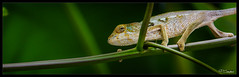 Faune d'un jardin crole (pierre-eric campos) Tags: chameleon pentax k3 runion endormi