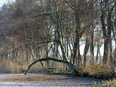 beschützt-protected (Anke knipst) Tags: bokel see lake bank bench birke birch frost