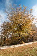 Secular beech (ambrasimonetti) Tags: secular beech canfaito elcito sanseverinomarche macerata italy tree albero faggio secolare saveearth