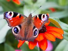 Antidepressant... - Antidepressivum... (Uli) (Uli-Joe) Tags: blossoms blten butterfly canoneos7d flowers inachisio macro nahaufnahme orange peacockbutterfly pflanzen schmetterling tamron16300mmf3563diiivcpzdb016 tagpfauenauge closeup