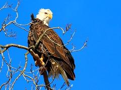 bald eagle at Decorah Fish Hatchery IA 854A4125 (lreis_naturalist) Tags: bald eagle decorah fish hatchery winneshiek county iowa larry reis