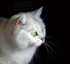 A toi qui nous manques tant (KerKaya) Tags: cat kerkaya fz30 panasonic lumix light leica look green eyes silver silvershaded beauty beautiful cute sweet memories remember magic moments face portrait