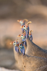 Guineafowl (pommyboi) Tags: 200500 2016 andersonscamp d7200 namibia nikon guineafowl