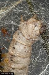 Bombyx  mori caterpillar (frillicca) Tags: 2010 bacodaseta bombycidae bombyxmori butterfly caterpillar falena farfalla giugno insect insetto june lepidoptera lepidottero macro macrofotografia moth roma seta silkworm insetti