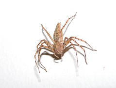 Longhushan, Guangxi/ - Oxyopidae DSCN9967 (Petr Novk ()) Tags: oxyopidae pavouk spider invertebrate lynxspider  longhushan  longancounty   china na  guangxi  asia asie  animal night nature wildlife macro