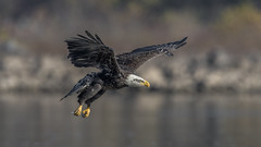 Bald Eagle (nikunj.m.patel) Tags: baldeagle eagle raptor birdsofprey birds wildlife nature photography nikon migration maryland