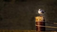 faune - 27 11 (Yasmine Hens) Tags: 7dwf 7dayswithflickr faune fauna seagul mouette clairobscur hensyasmine namur belgium wallonie europa aaa  belgique blgica    belgio  belgia   bel be