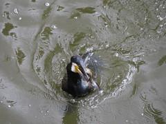 IMG_6697 (Marko_J_Aho) Tags: bath bird england greatcormorant merimetso phalacrocoraxcarbo somerset