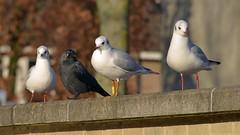 ND8_7706 (charlesvanlangeveld) Tags: vogels meeuwen kraaien