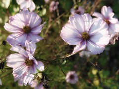 La lumire d'octobre (nathaliedunaigre) Tags: flowers jardin garden cosmos