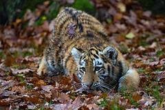 spielen? (Mel.Rick) Tags: zooduisburg tigercub tiger tigerbaby makar arila sibirischertiger sugetiere tiere raubtiere raubkatzen