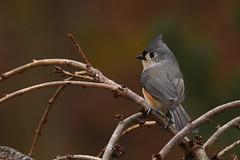 Just another Titmouse (dbifulco) Tags: bird cherrytree nature newjersey wildlife winter yard tuftedtitmouse tuti