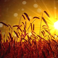 Cereal field in the warm evening sun (Martin Bärtges) Tags: cereal field getreide nature natur sun sunset orange warm sunlight sonnenuntergang erntezeit