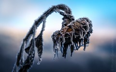 the saddest sunflower in the world (Florian Grundstein) Tags: sunflower sad mood winter ice frost sadness icy cold flower blossom nopeople picoftheday nature bluesky nikon d610 fx fullframe macro closeup