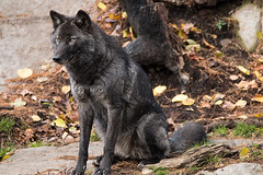 Black Timber Wolf (NicoleW0000) Tags: black timber wolf canis lupus carnivore predator wildlife parc omega montebello quebec wolfeyes
