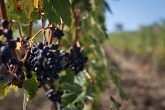 I heared you (eli calacuda) Tags: italy tuscany siena grapes grapevine wine sunlight