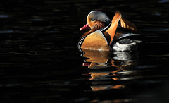 Duck in Spotlight (Nephentes Phinena ☮) Tags: mandarinduck mandarinente bird birds animal