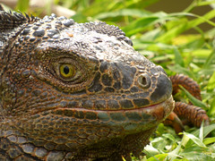 Iguana iguana (Luis G. Restrepo) Tags: p2200966 iguana greeniguana iguanaiguana reptil reptile lizard támesis antioquia colombia southamerica