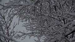 First snow 2016 Waukesha WI by sheldn (2sheldn) Tags: first snow 2016 waukesha wi sheldn canon t5i bw black white tree
